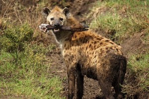 Spotted Hyena (with wildebeest leg)
