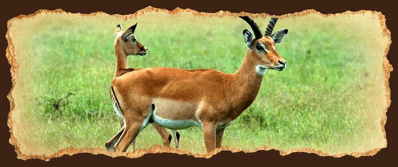 Impala Buck and Doe