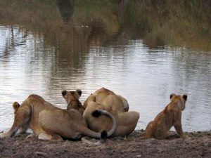 Lioness' and Cubs