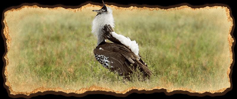 Kori Bustard bird attracting a female