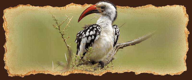 Red-Billed Hornbill (bird)