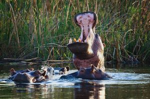 hippo-yawn-rg2_