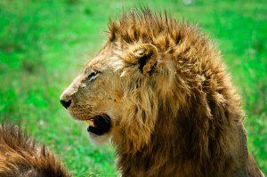lion-rg1