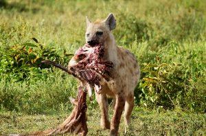 sm24-215-hyena-carcass-sm3_