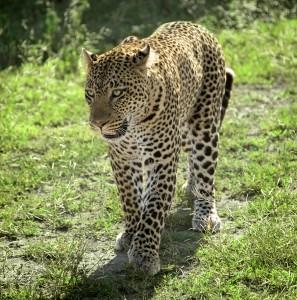 DSC2997-leopard-tr