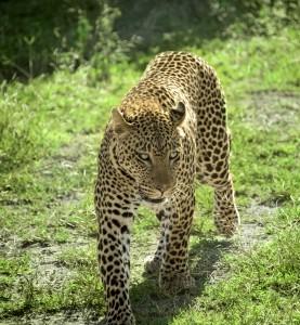 DSC2999-leopard-tr
