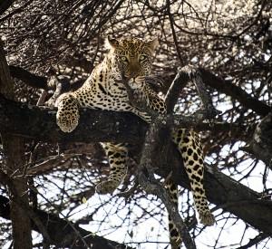 DSC3064-leopard-tree-tr