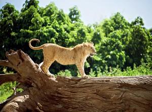 DSC3849-lion-cub-tr