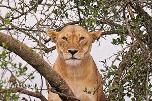 sm23rd-466-lioness-trees-sm1