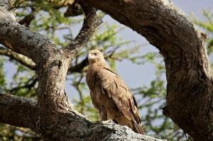 sm24-210-tawny-eagle-sm1