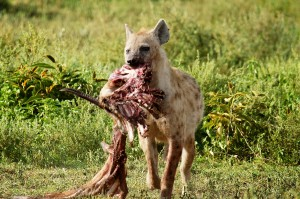sm24-215-hyena-carcass-sm3