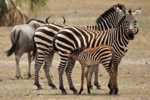 zebra-01-nursing-tarangire-svg