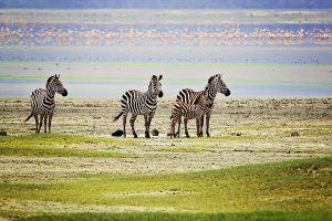 NC.zebras-with-flamingos-in-background-svg1