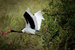 saddle-billed-stork-rg1