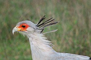 secretary-bird-rg1