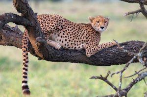 sm24-265-cheetah-tree-sm1