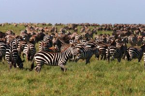 zebra-wildebeest-sm