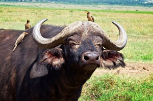 Cape-buffalo-and-oxpeckers-rg1