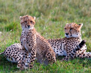Cheetah-and-cub-2-tarangire-rg