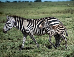 DSC2134-zebra-and-colt-tr