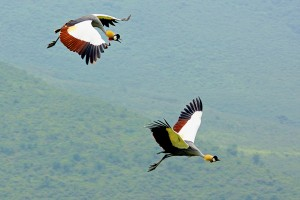 NC.crowned-cranes-flying-svg1