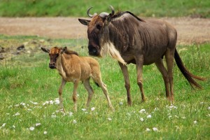 NC.wildebeest-mother-and-calf-svg1