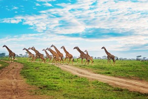 SS.-giraffe-herd-crossing-road-svg