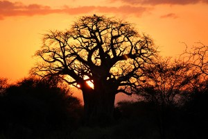 Sunset-Tarangire-boabab-tree-4-pgs1