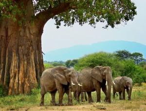 T.-three-elephants-under-baobab-tree-svg1b