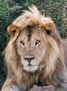 DSC2159-lion-remove-scars-blemishes-tr