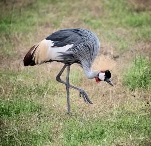 DSC3690-crowned-crane-tr