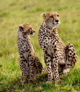 cheetah-and-cub-rg1