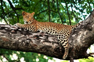 lounging-leopard-rg