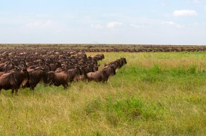 wildebeest-migration-01-rg