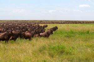 wildebeest-migration-01-rg