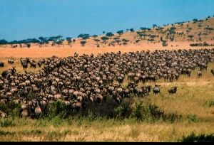 wildebeest-migration-4-of-7-rg