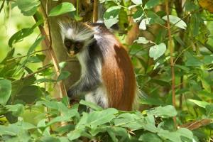 z-red-colobus-monkey-5-svg