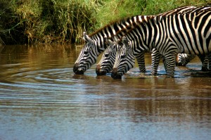 zebras-drinking-trio-rg